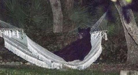 Niedźwiedź odpoczywający w hamaku